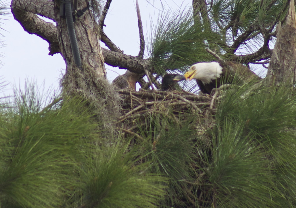 Southern bald eagle nest in Southwest Florida. Photo: Paula Bendfeldt-Diaz. All Rights Reserved.