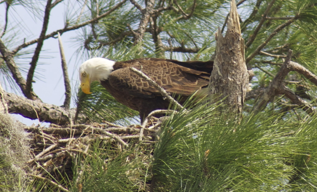 Bald eagle in her nest in North Fort Myers. Photo: Paula Bendfeldt-Diaz. All Rights Reserved.
