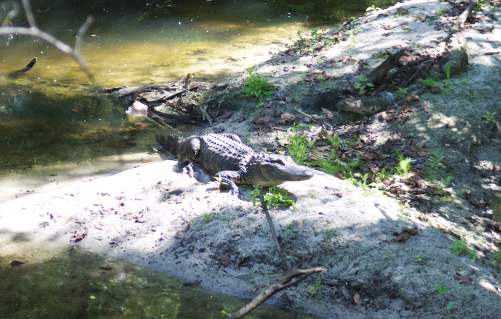 Florida alligator, photo taken during our ride on Thomas at the Florida Railroad Museum. Photo: Paula Bendfeldt-Diaz. All rights reserved.
