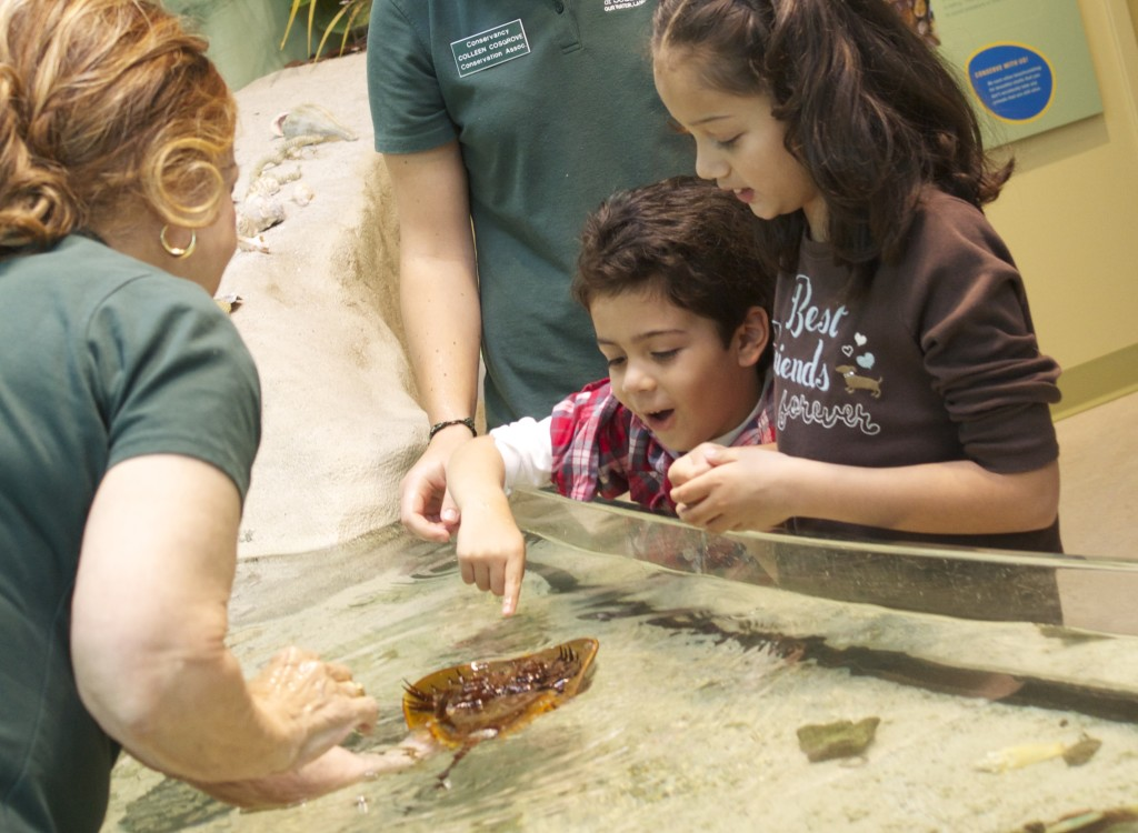 At the touch tank amazed by the horseshoe crab.  Photo: Paula Bendfeldt-Diaz. All Rights Reserved.