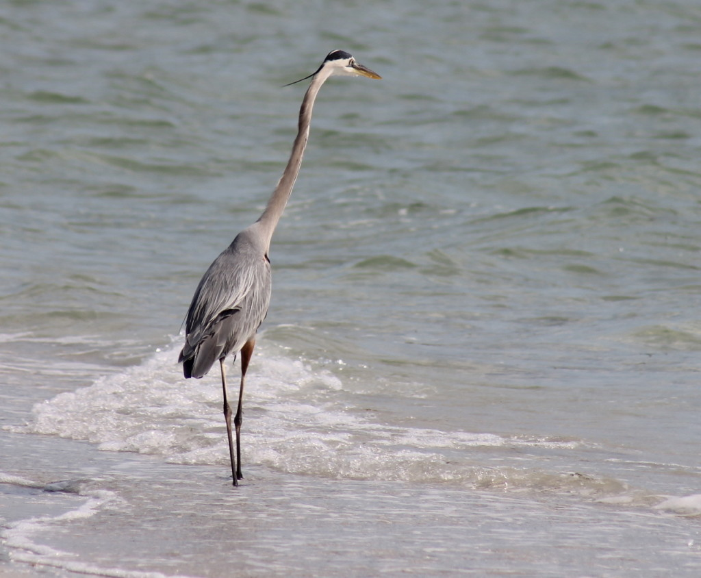 Blue Heron wading on the shore at Cayo Costa. Photo: Paula Bendfeldt-Diaz. All Rights Reserved.