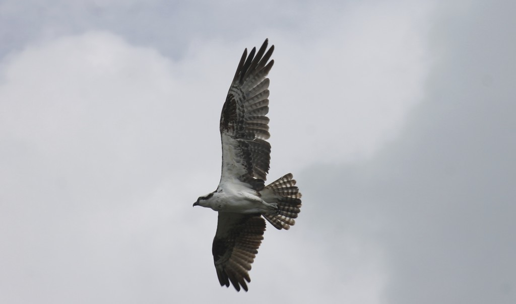 Osprey flying over Cayo Costa. Photo: Paula Bendfeldt-Diaz. All Rights Reserved.