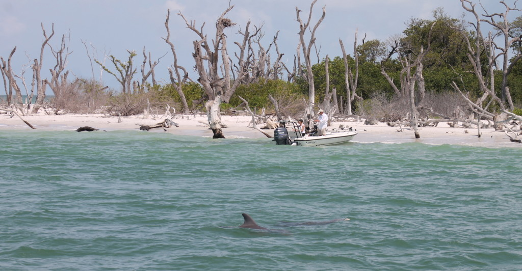 Dolphins love to hang around Cayo Costa. Photo: Paula Bendfeldt-Diaz. All Rights Reserved.