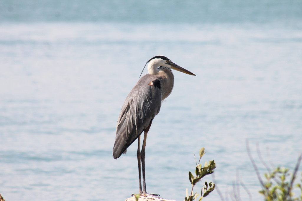 Blue heron. Photo: Paula Bendfeldt-Diaz. All Rights Reserved.