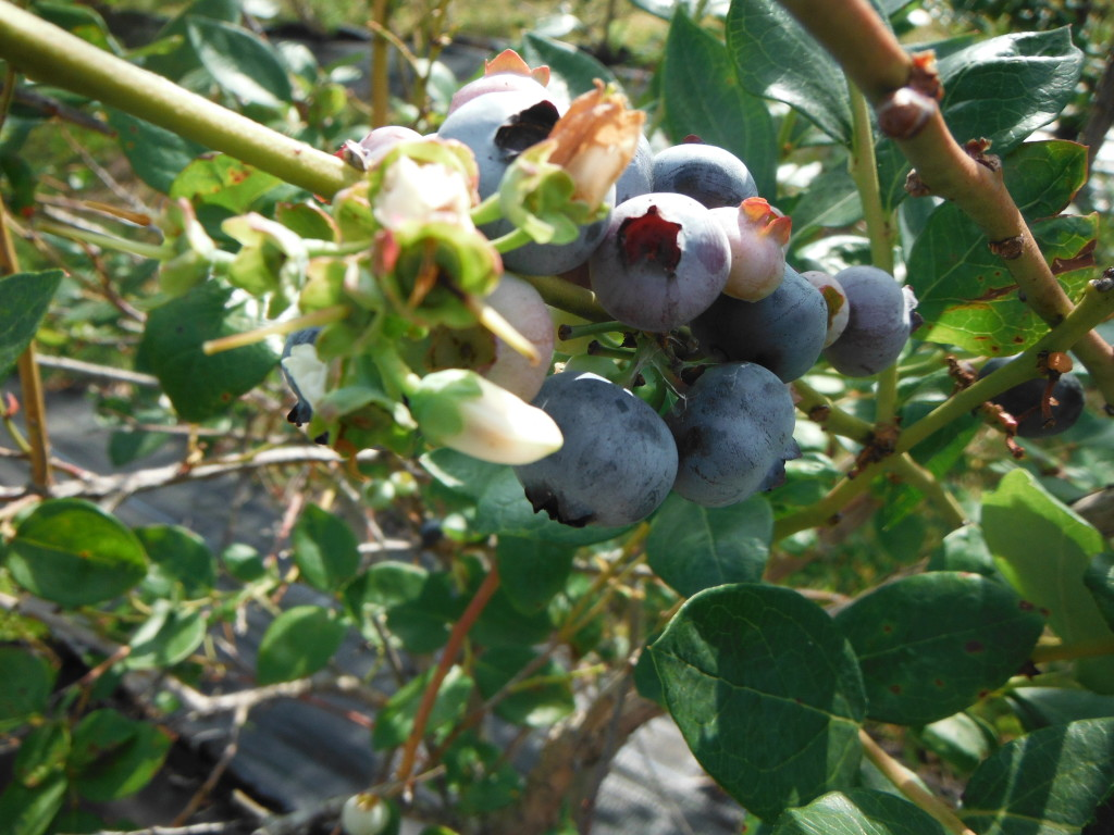 The bushes are full of large fresh juicy blueberries.