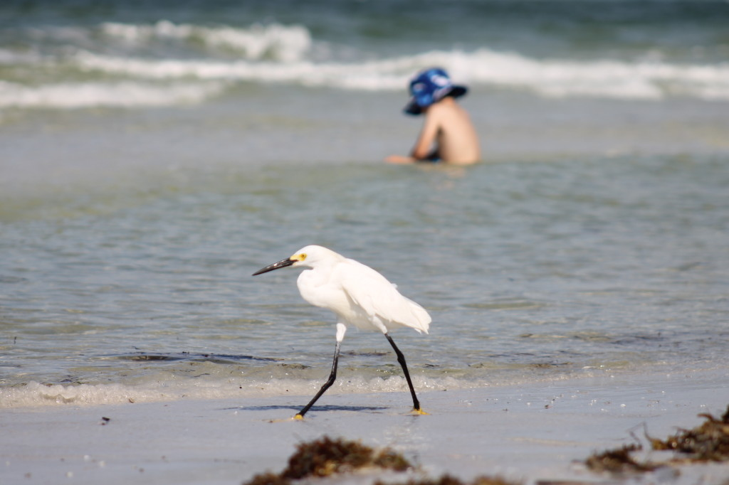 snowy egret and boy at Siesta Key beach