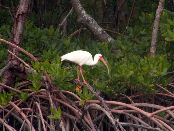 An Ibis watches kyackers from a mangrove perch.