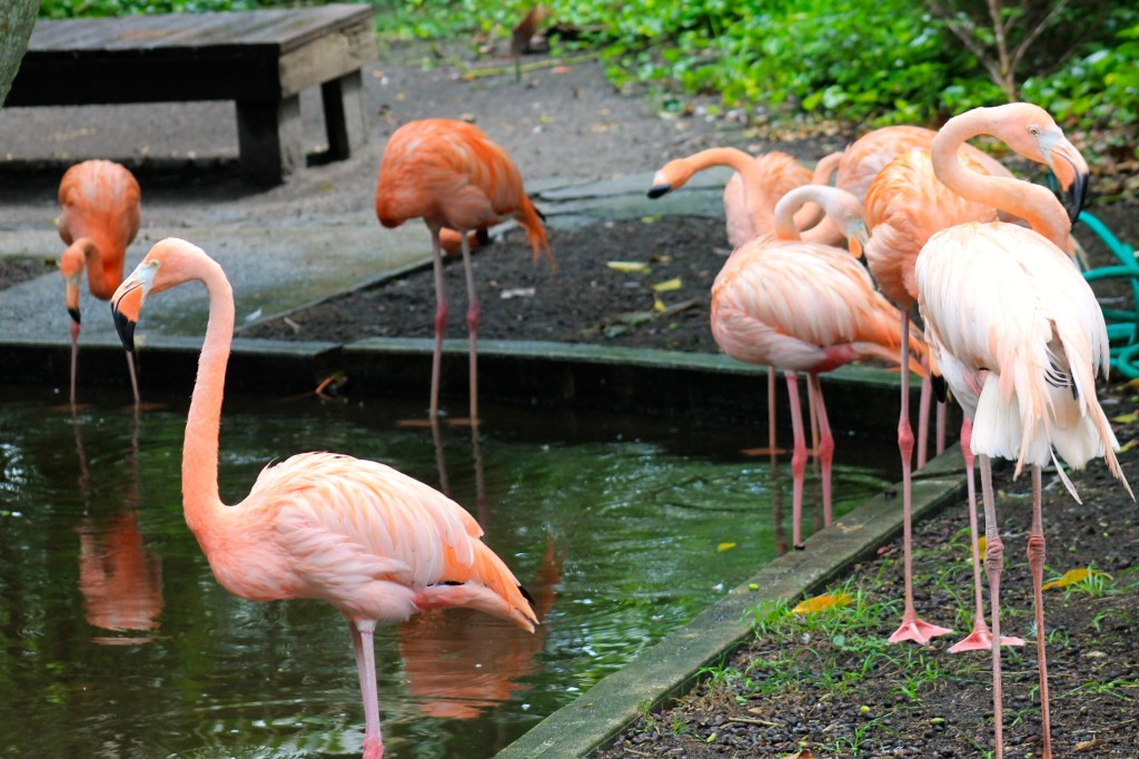 Pink flamingoes at the Everglades Wonder Gardens Bonita Springs roadside attraction.