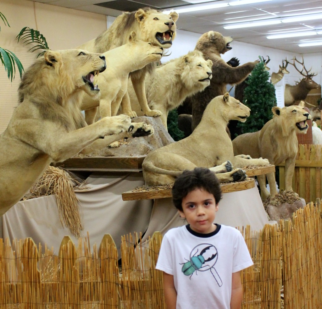 taxidermy lion collection at the Shell Factory