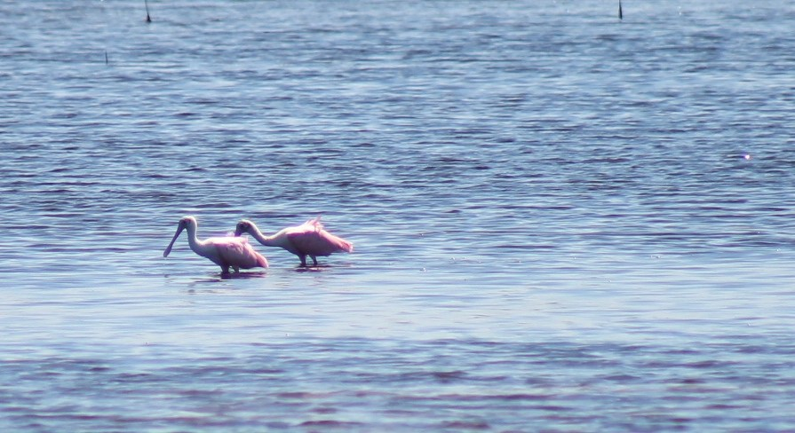 "Roseate spoonbills at  J.N. ""Ding"" Darling National Wildlife Refuge, Best Nature Hikes for Families in Southwest Florida"