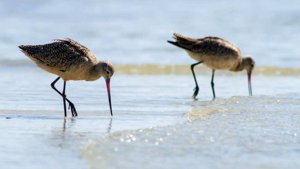 Godwits at Bunchee Beach Presenve