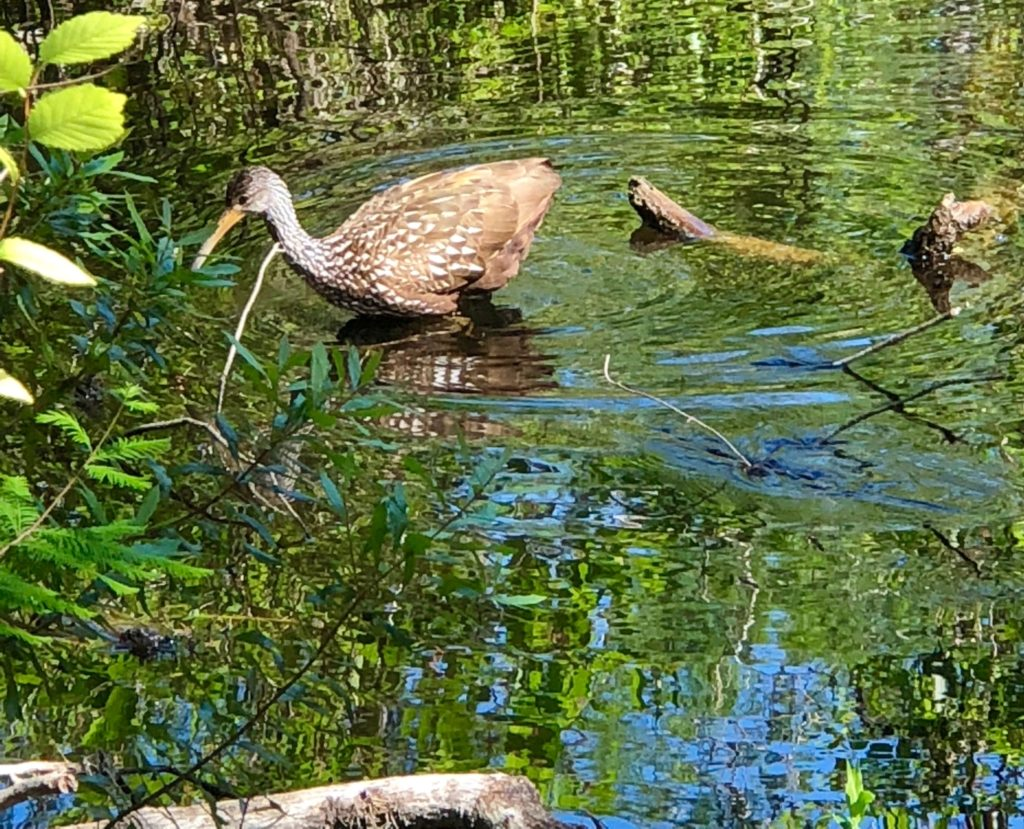 Limpkin at Six Mile Cypress Slough
