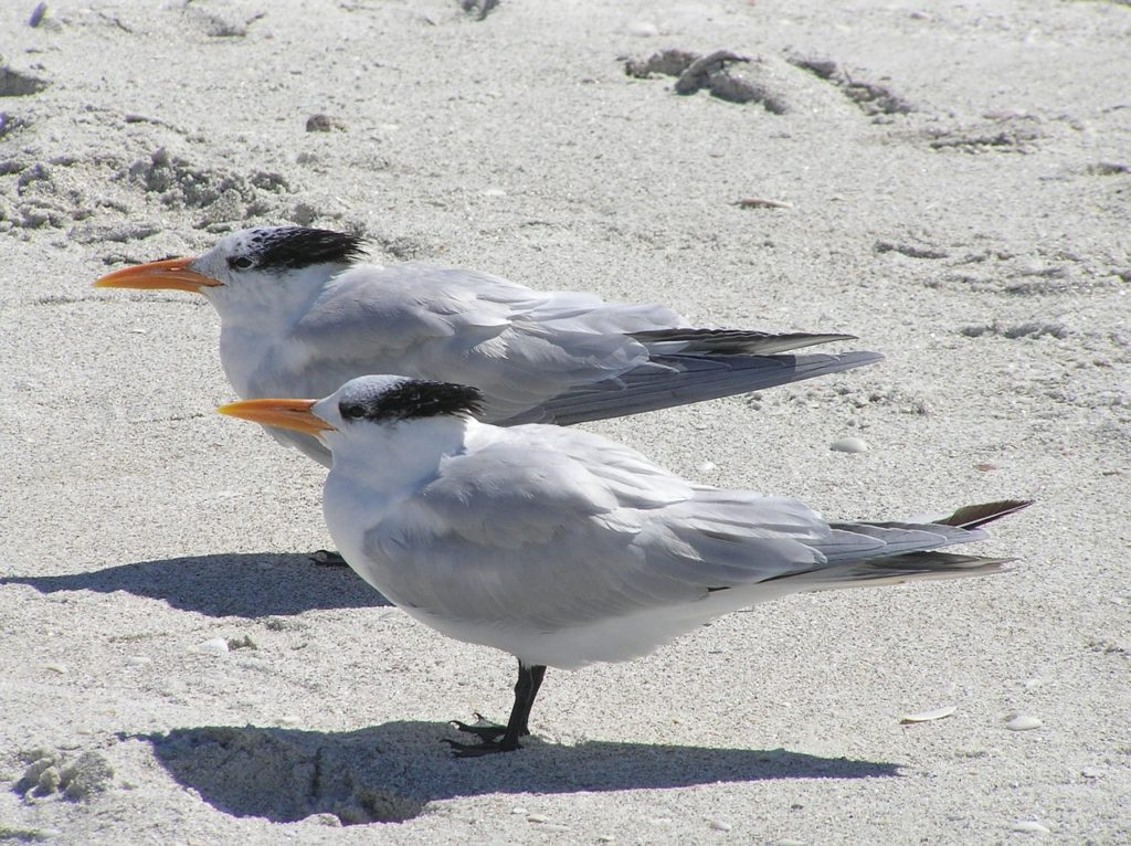 royal terns at Delnor-Wiggins pass State Park